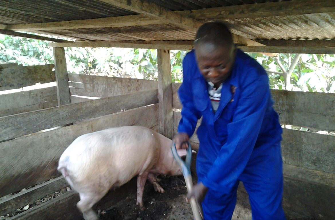 Piggery Farming How To Build A Lucrative African Business From Scratch